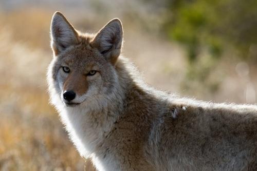 coyote-1480717