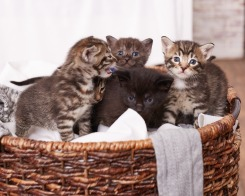 Kittens (in Foster care)