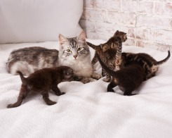 Mama & Kittens (in Foster care)