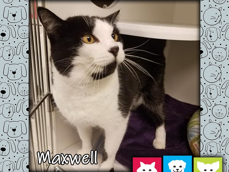 Maxwell, cat, Pet of the Week
